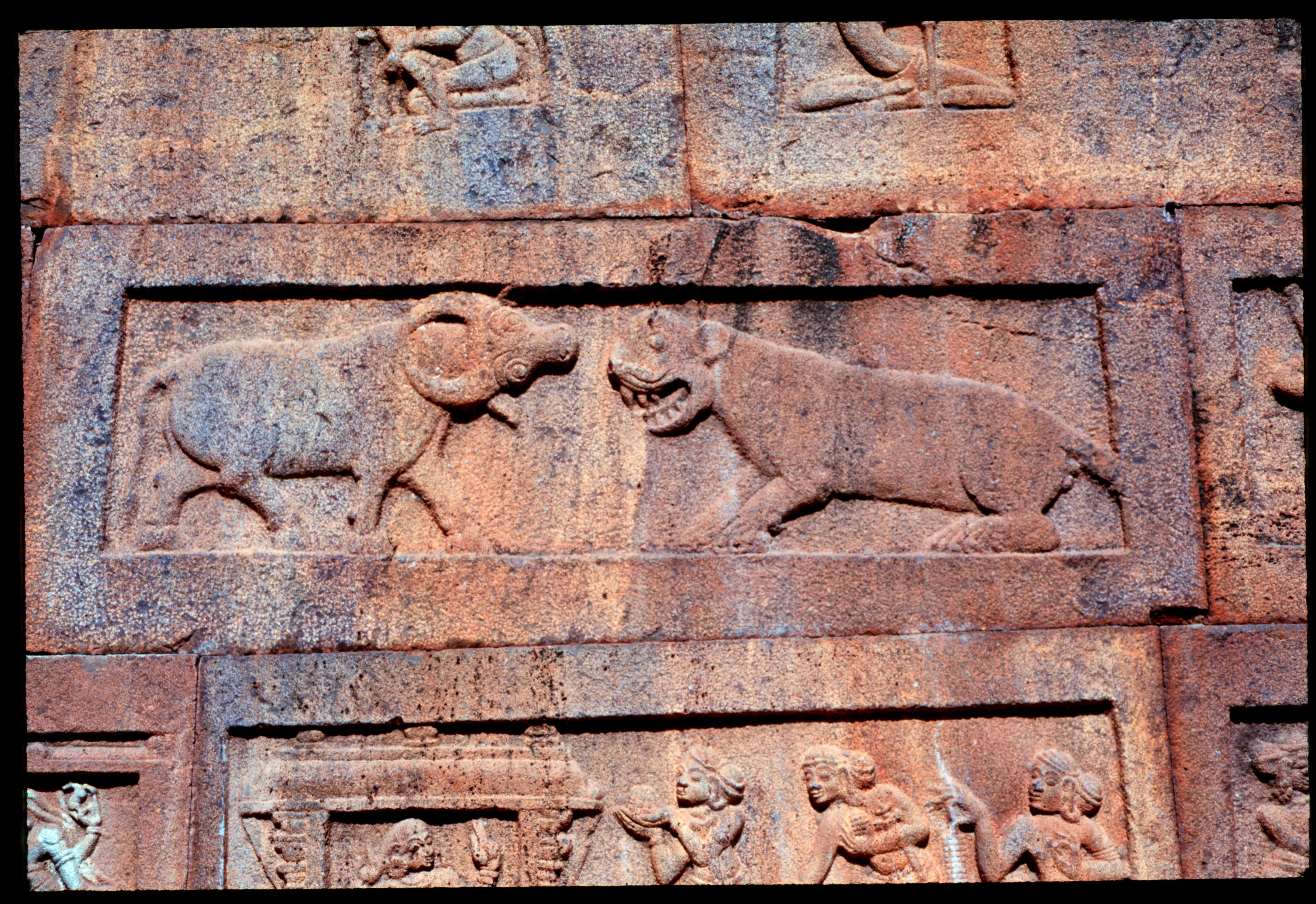 Tiger and buffalo through human history